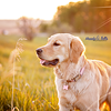 Bailey, the Golden Retriever's, summer portrait!