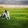 Charlee the Border Collie near Airdrie Alberta