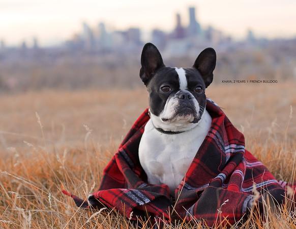 Khaya, the French Bulldog