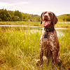 Viva the German Short Haired Pointer