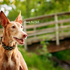 Kizmit the Pharaoh Hound in Calgary Alberta
