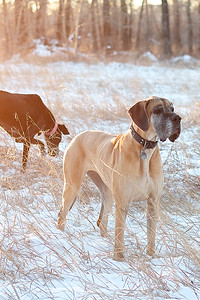 Yampa and Kiara, Great Danes