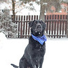 Kolby the Labrador Retriever