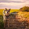 Mustard the Australian Cattle Dog