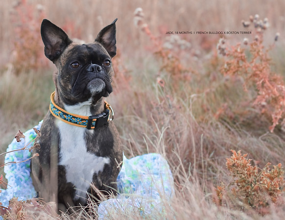 Jade the French Bulldog Boston Terrier Mix
