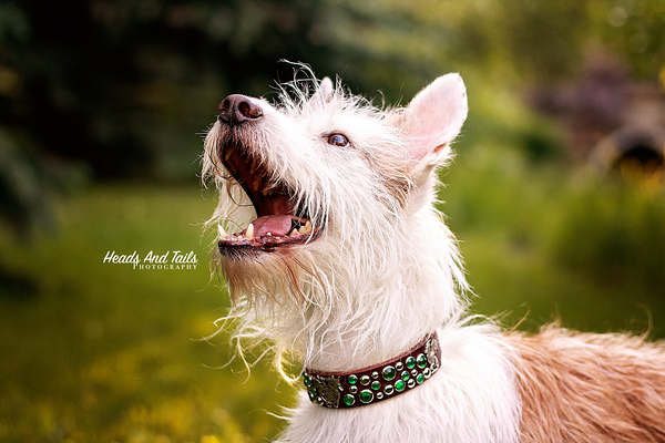 Kooza the Medio Wirehaired Podengo