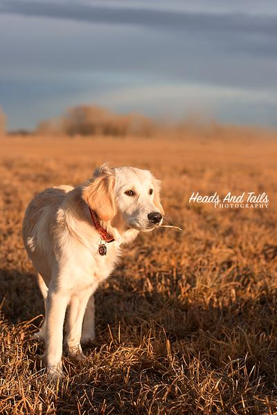 Autumn, the Golden Retriever puppy near Calgary Alberta