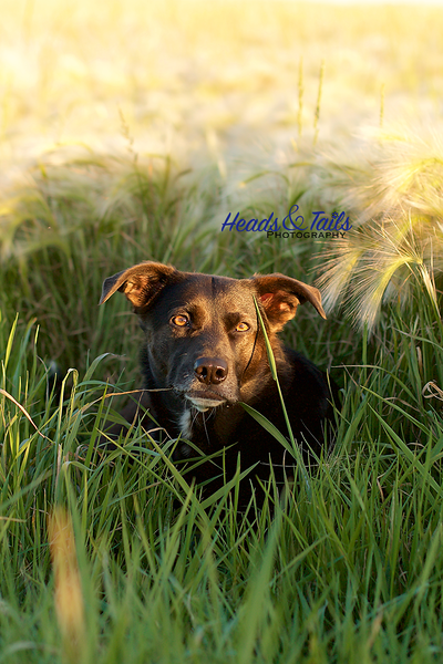 Emma, the Labrador Stafforshire Terrier mix