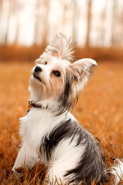 Ayla the Yorkshire Terrier Maltese cross