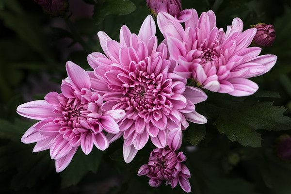 Pink Trio - Three pink chrysanthemum flowers