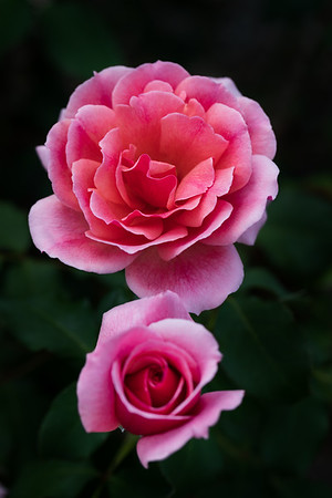 Blushing Duo - A fully blown pink rose together with a pink rosebud with the rosebush's green leaves as the background