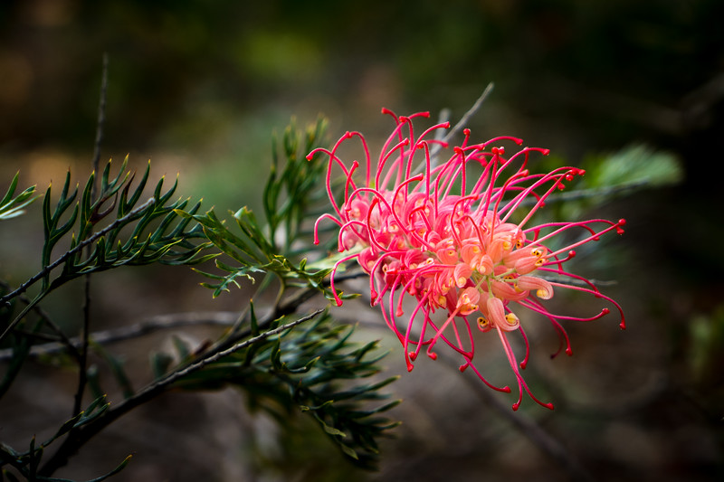 Spidery Red Grevillea Blossom