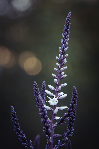 Purple Spire - A purple and white draecena flower spike