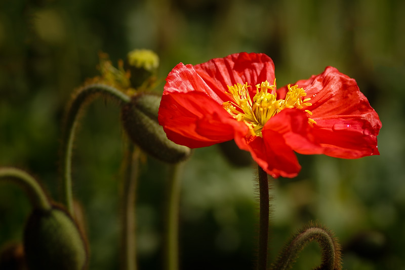 Poppy Flame - One bright red upright poppy photographed against poppy buds and a green garden bed