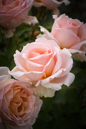 Blush Rose Trio - Three pale pink roses