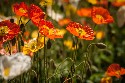 Orange Poppy Meadow - A cheerful profusion of orange and other colour poppies