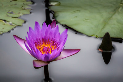 Purple Water Lily - A purple water lily with a bright gold heart