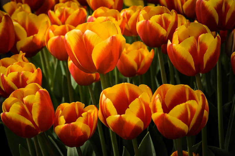"Floral Flames - Massed Tulipa ""Yellow Flight"" flowers"