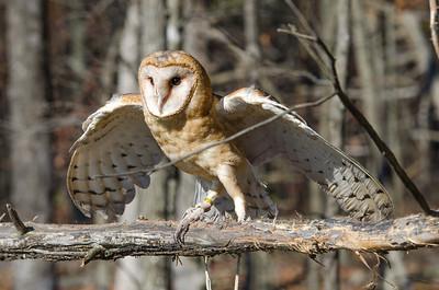 Ryle Irwin Barn Owl