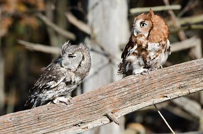 Ryle Irwin Screech Owls