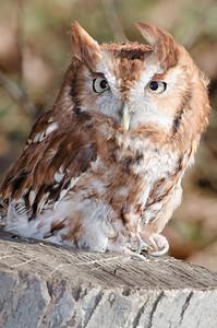 Ryle Irwin Screech Owl