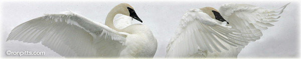 Swangels