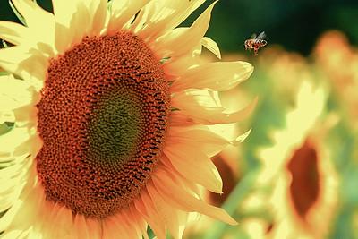 La abeja y su girasol