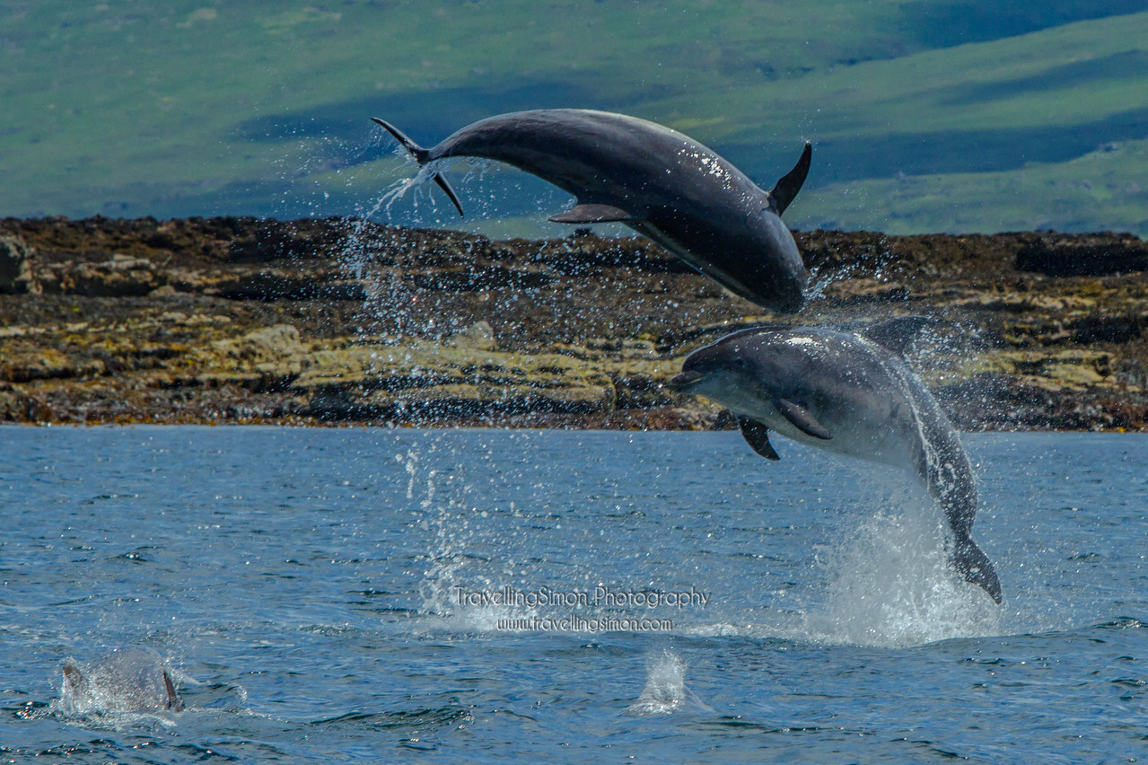 An amazing experience seeing a school of about a dozen bottlenose dolphins playing off the Lady Jayne, Mull Charters boat. This was after watching the huge White Tailed Sea Eagle take fish from the water meters from the boat - just breathtaking!<br /> All rights reserved Simon Brown 2012
