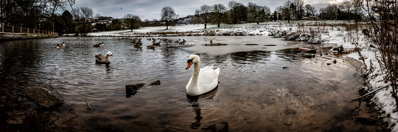 This proved a good challenge this one - getting a shot of the swan in a nice pose and stitching a panorama around her to show nearly all of Swan's Pool - would you guess 8 images went into this one?