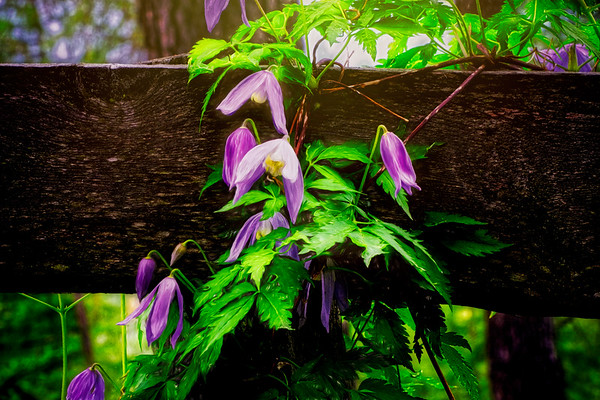 Lavender Cascade