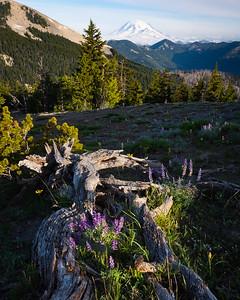 Morning lupines, William O. Douglas Wilderness, Washington