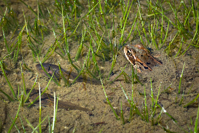 Frog with tadpoles in subalpine pond, southern Washington Cascades