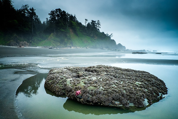 Pink starfish on rock in Olympic National Park