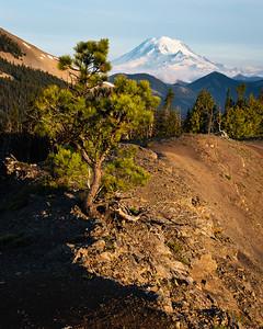 Sunrise tree, William O. Douglas Wilderness, Washington