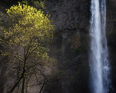Tree and waterfall, Multnomah Falls, Columbia River Gorge, Oregon