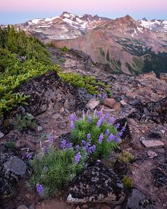Lupines before dawn, Goat Rocks Wilderness, Washington
