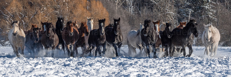 Horse Stampede in Winter, Montana