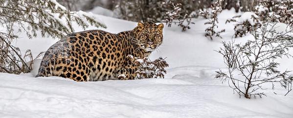 Amur Leopard in the snow, Triple D, Montana