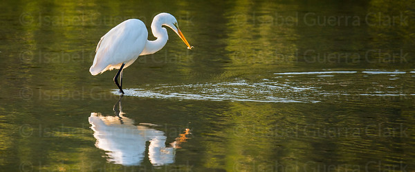 Fishing Egret, Florida's West coast