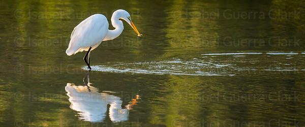 Fishing Egret, Florida's West coast