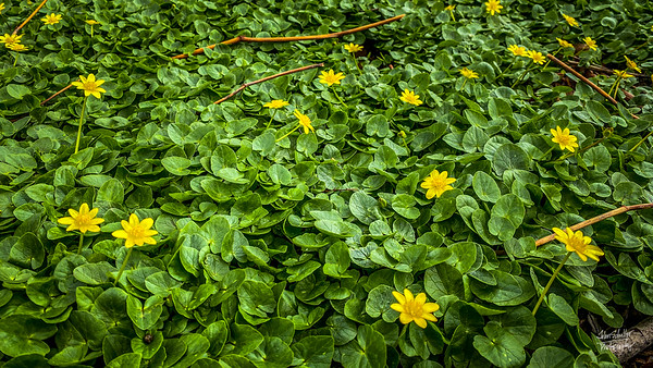Ground cover begans the change the landscape color along the Mon from brown to green, dotted with yellow.