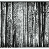 Black and White Aspen Panorama 2