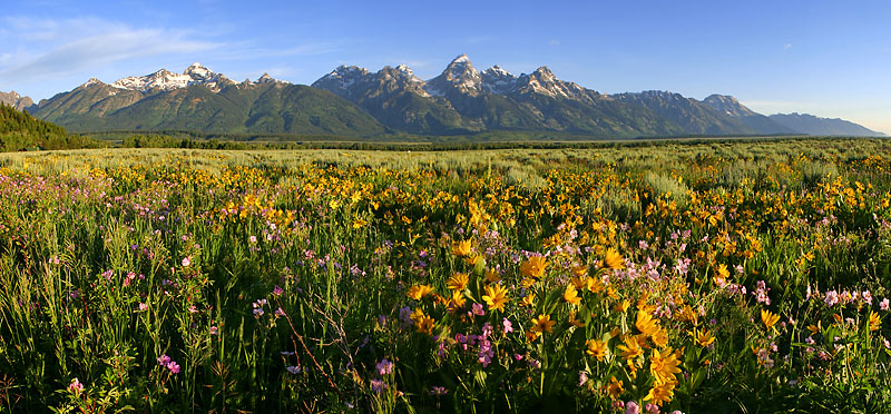 """Grand Teton National Park - Morning Flowers <BR><BR>Want to buy a print of this image?  Click <a href=""""http://www.langfordphotography.com/For-Sale/New-Site-Panormaics/9004552_h7zw9H"""">Here</a>!"""