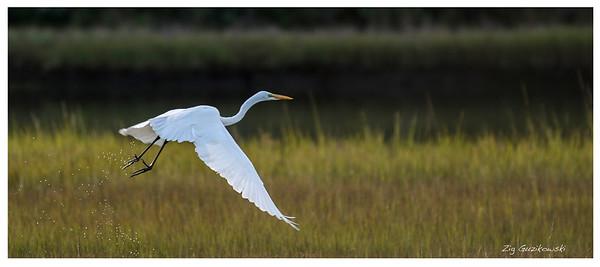 P139 Great White Heron Taking Flight