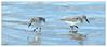 P134 Sanderlings