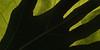Catalpa leaf (Catalpa speciosa) backlit with hand silhouette