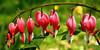 Bleeding heart in Spring; Quakertown, PA