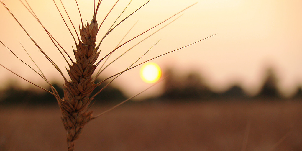 Dead wheat stalk in sunset; Quakertown, PA