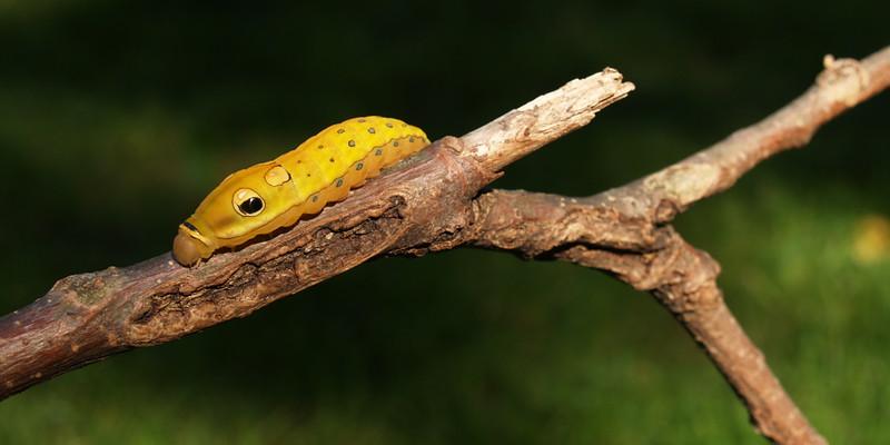 Spicebush Swallowtail Caterpillar found at Camp Men-O-Lan; Bucks Co., PA