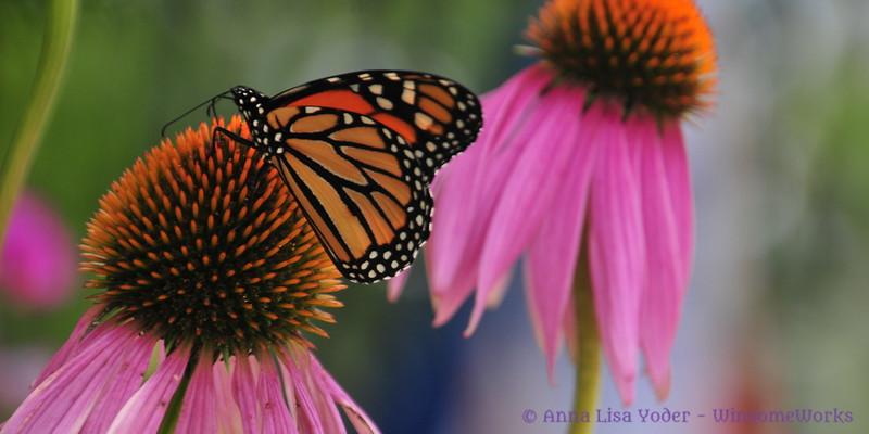 Male monarch on echinacea